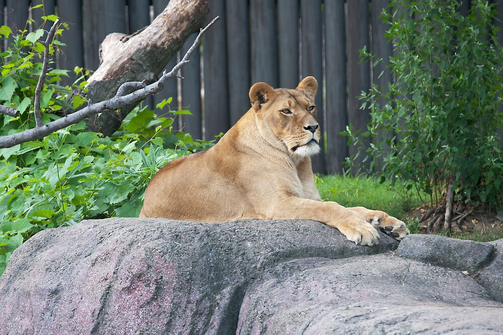 Lioness At Rest by StonePhotos