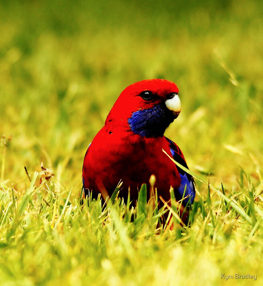 Rich In Color  Crimson Rosella by Kym Bradley