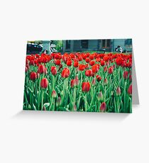 Tulips in Trondheim, Norway Greeting Card