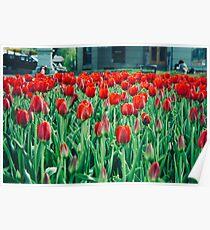 Tulips in Trondheim, Norway Poster