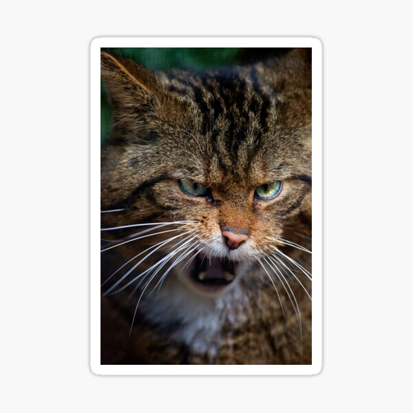 Scottish Wildcat, less than 400 remain... Sticker