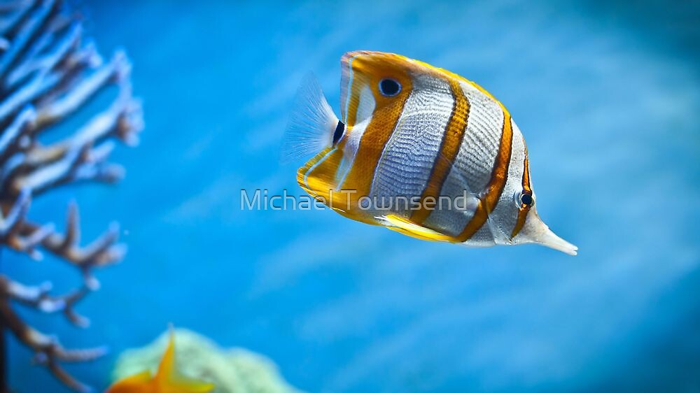 Rare Butterfly Fish by Michael Townsend