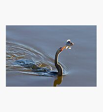Anhinga with Fish Photographic Print