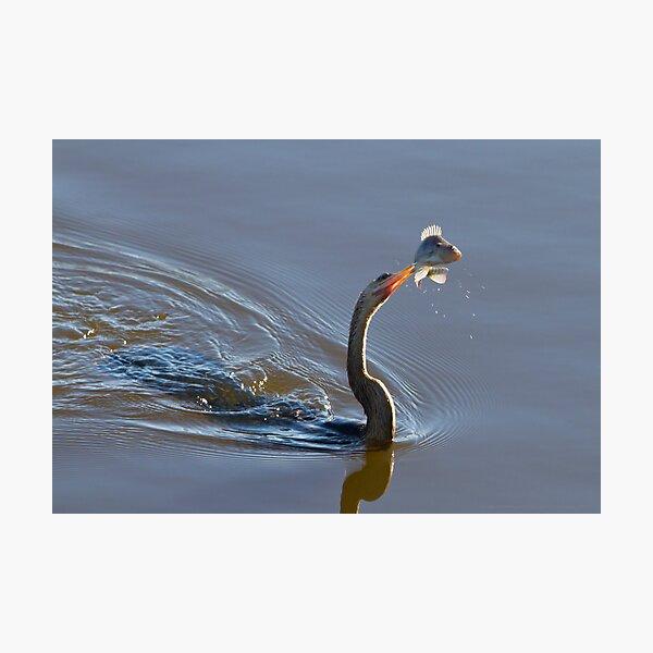 Anhinga with Fish Photographic Print