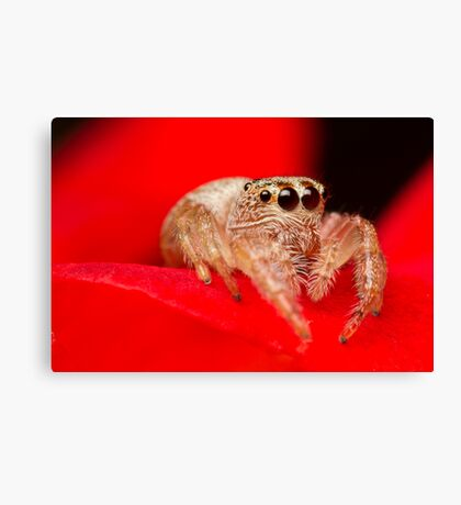 (Servaea vestita) Jumping Spider On Rose Canvas Print