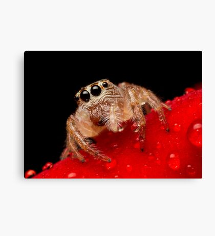 (Servaea vestita) Jumping Spider On Rose #2 Canvas Print