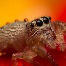 (Servaea vestita) Jumping Spider On Rose #3 by Kerrod Sulter