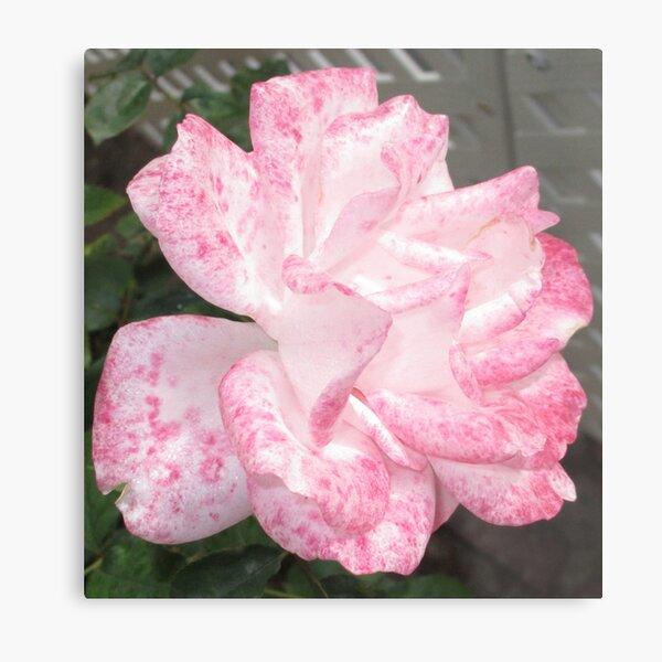 Pink Rose Evolution Metal Print