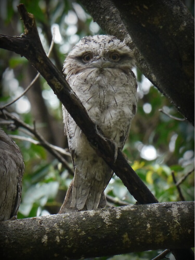 Tawny Frogmouth Chick by theoddshot