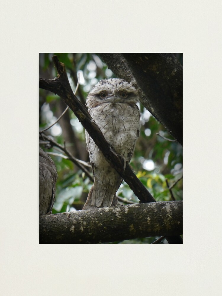 Alternate view of Tawny Frogmouth Chick Photographic Print