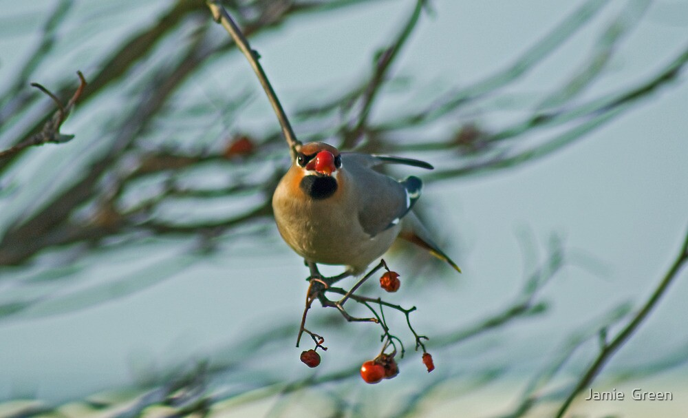 The Waxwing And The Berry #5 by Jamie  Green