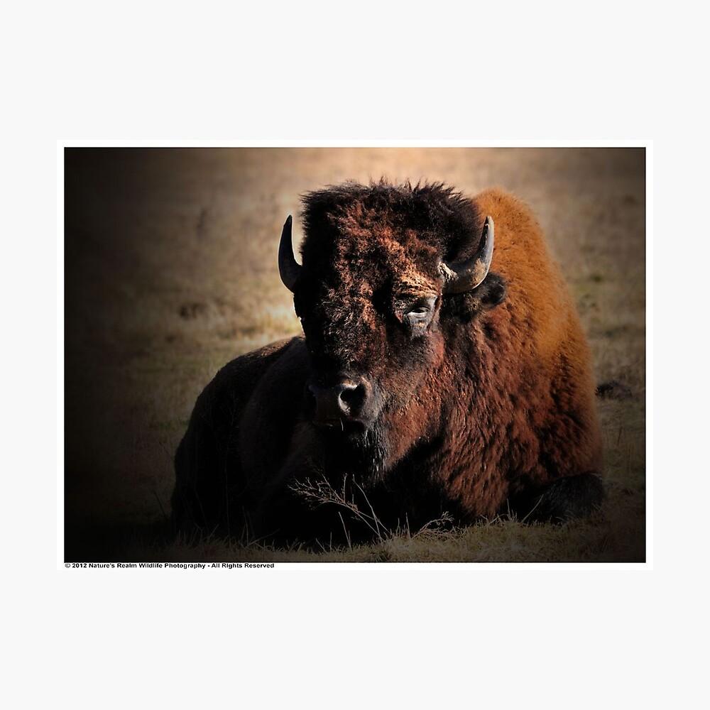 American Bison Lámina fotográfica