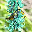 Sunbirds on Jade vine by robmac