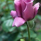 lavender tea rose by Penny Rinker