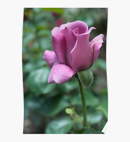 lavender tea rose Poster