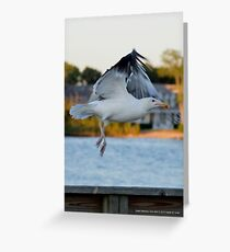 Larus Occidentalis - Western Gull | Center Moriches, New York  Greeting Card