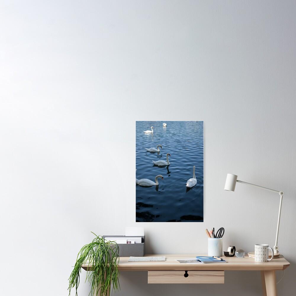 Swan Family at Th Lake  Poster