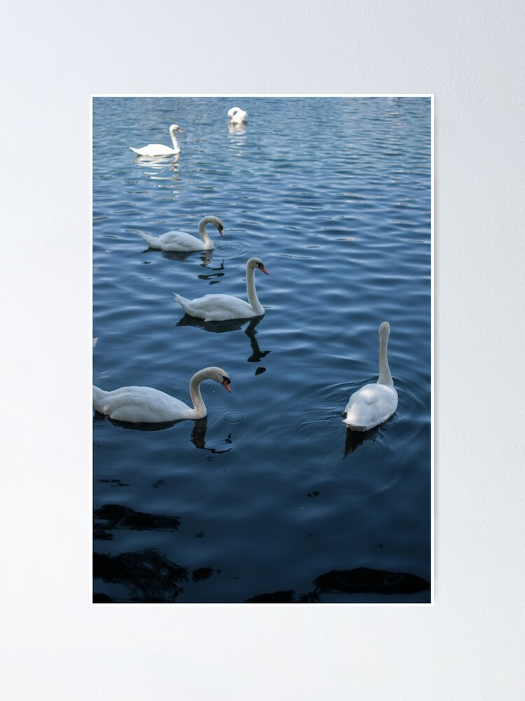 Alternate view of Swan Family at Th Lake  Poster