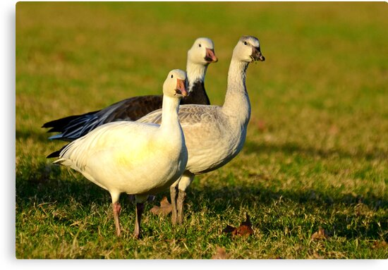 Snow Geese, (Don't come any closer I'll Fly Away by TJ Baccari Photography