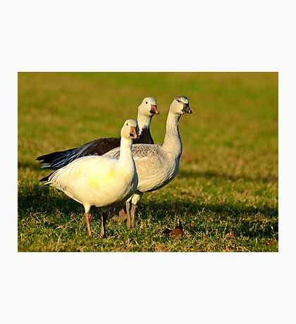 Snow Geese, (Don't come any closer I'll Fly Away Photographic Print