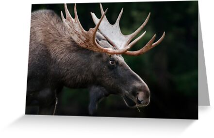 There's A Moose On The Loose by TeresaB