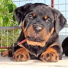 Female Rottweiler Puppy Photographic Portrait by taiche