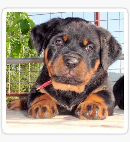 Female Rottweiler Puppy Photographic Portrait Sticker