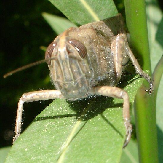 Grasshopper on An Oleander Leaf by taiche