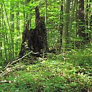 Tree Stump at Camp Ladore by Sinclere