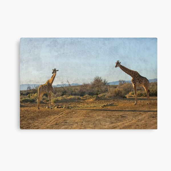 Two giraffes in South Africa Canvas Print