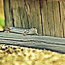 20090107- DSC05602 Googong Lizard f by tmac