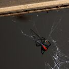 Danger!! I am a Red Back!! by R-Summers