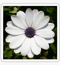 Beautiful Blossoming White Osteospermum Sticker