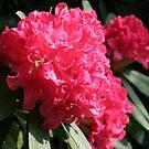 Pink Rhododendron by PB-SecretGarden