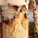 Birch bark by jrier