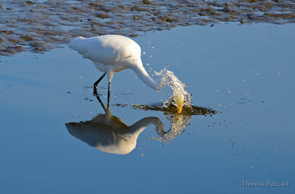 GOING FOR THE FISH (EGRET) by TJ Baccari Photography