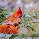 Christmas Cardinal by Brian Tarr