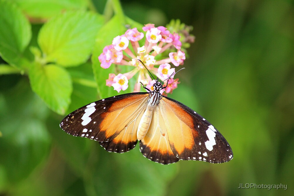 Lesser Wanderer Wings by JLOPhotography