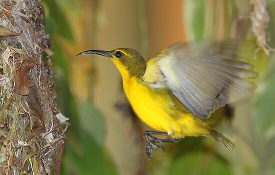 Nest building Sunbird by robmac