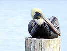 Pelican at Cedar Key, Florida by AuntDot