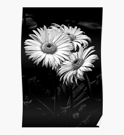 Three Daisy's Poster