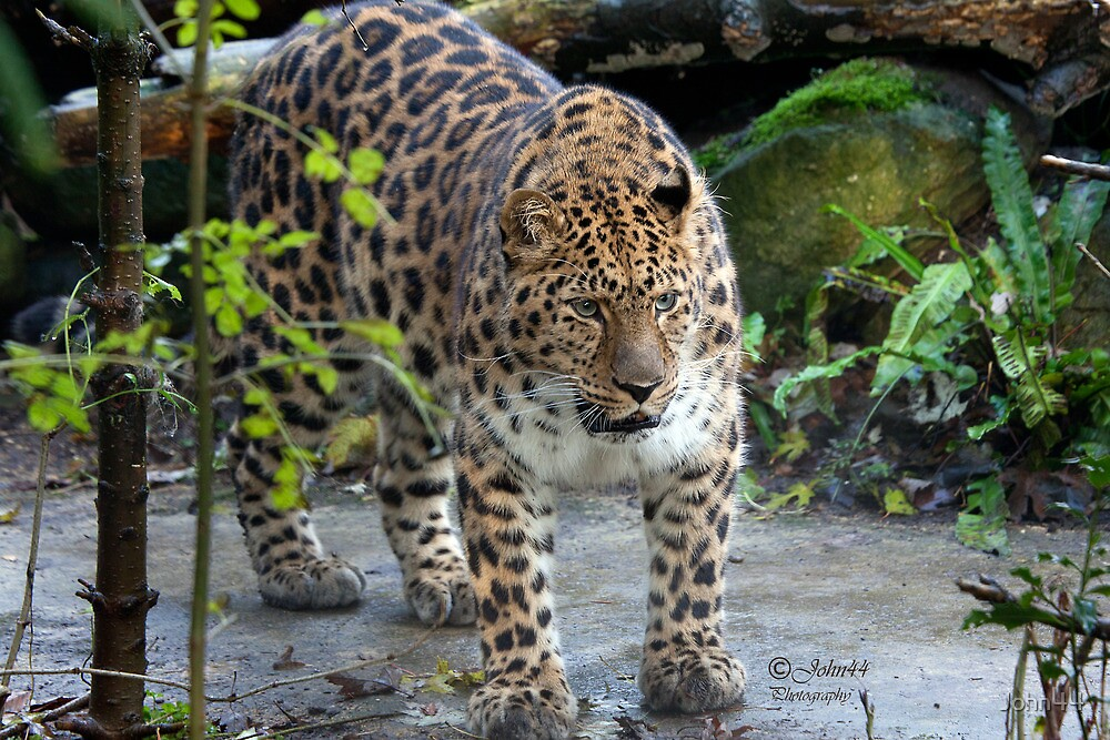 On the edge of extinction..The Amur leopard by John44