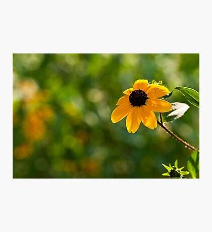Single Rudbeckia Photographic Print