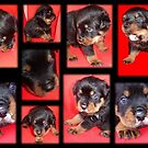 Cute Rottweiler Puppy Collage by taiche