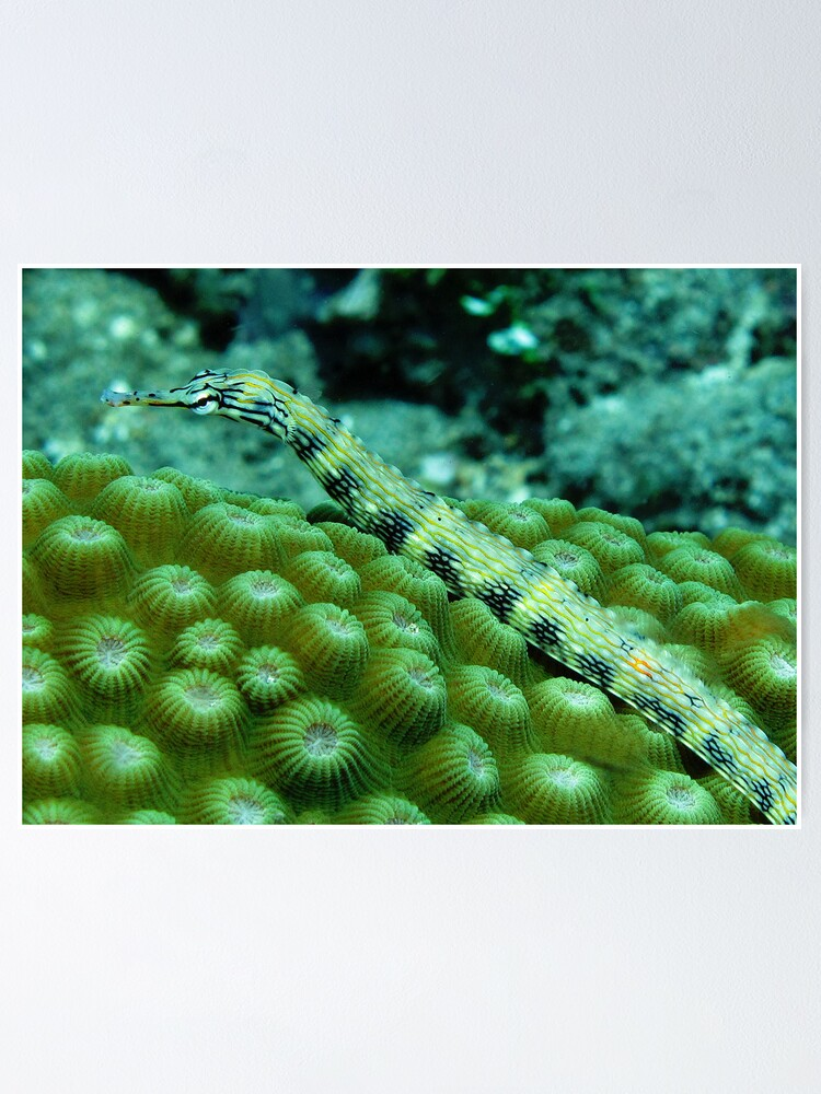 Alternate view of Pipefish on Favid Poster