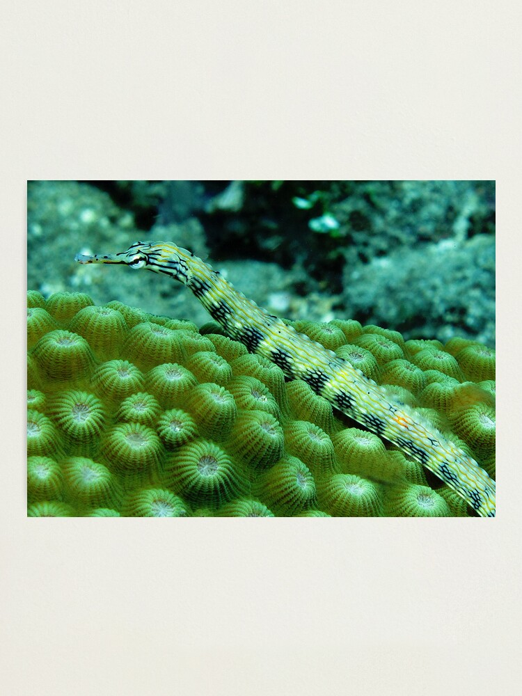 Alternate view of Pipefish on Favid Photographic Print
