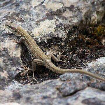 High mountain Lizard climbing by nelloug90