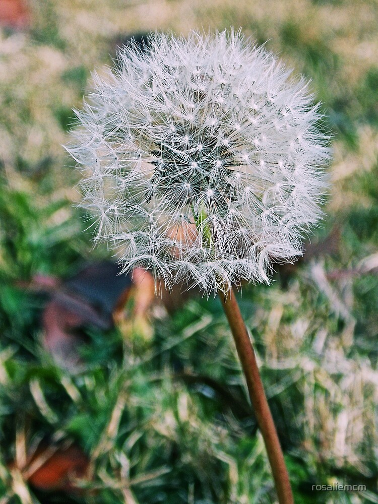 Dandelion Seed  by rosaliemcm