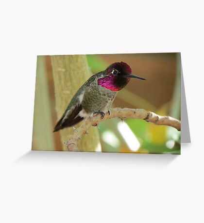 Anna's Hummingbird (Male) Greeting Card