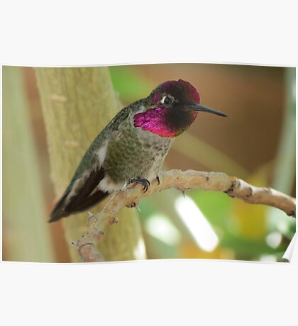 Anna's Hummingbird (Male) Poster